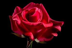 red-rose-320891_640