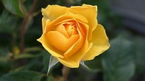 rose-113735__180