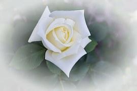 rose-807366__180
